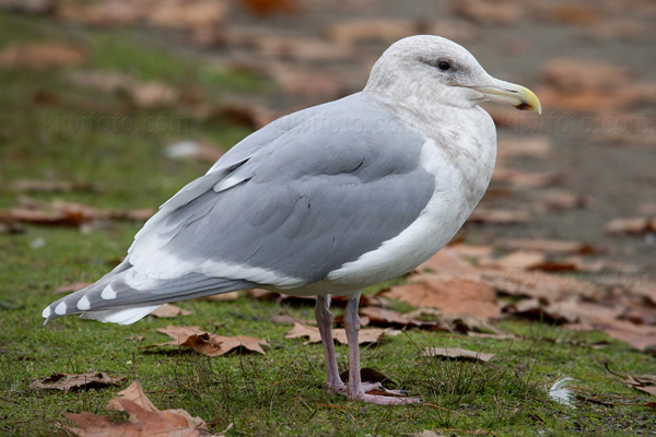 Glaucous-winged Gull Image