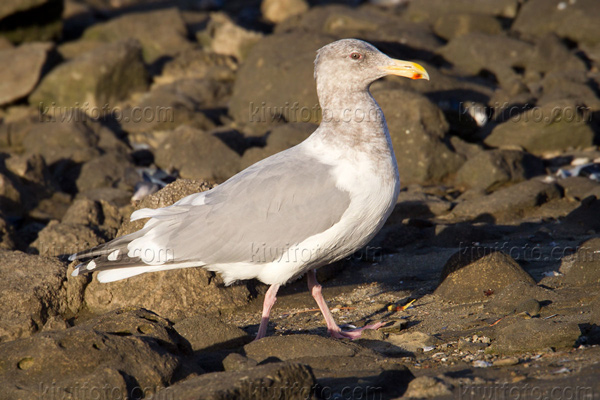 Glaucous-winged Gull (GWGU x Herring)