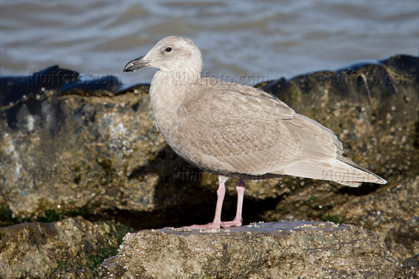 Glaucous-winged Gull Picture