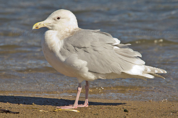Glaucous-winged Gull @ Dockweiler Beach, CA