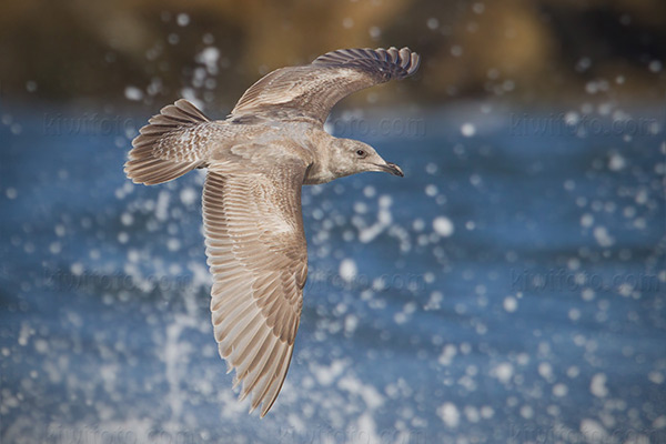 Glaucous-winged Gull @ Playa del Rey (Dockweiler State Beach), CA