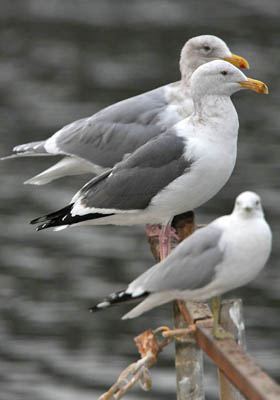Glaucous-winged Gull (Glaucous-winged Gull back, Western Gull middle, Ring-billed Gull front)
