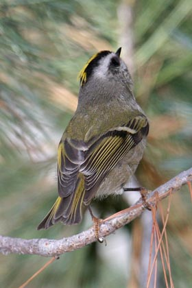 Golden-crowned Kinglet Image @ Kiwifoto.com