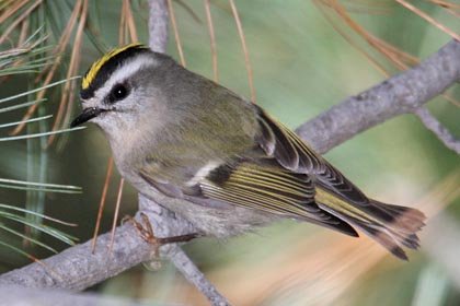 Golden-crowned Kinglet Photo @ Kiwifoto.com