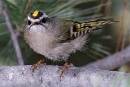 Golden-crowned Kinglet Picture @ Kiwifoto.com