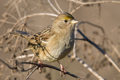 Golden-crowned Sparrow Photo @ Kiwifoto.com