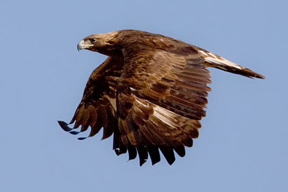 Golden Eagle Photo @ Kiwifoto.com