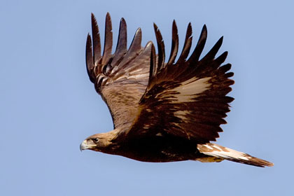Golden Eagle Image @ Kiwifoto.com