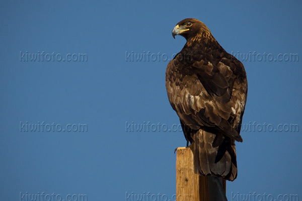 Golden Eagle Picture @ Kiwifoto.com