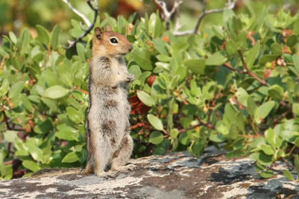 Golden-mantled Ground Squirrel Image @ Kiwifoto.com