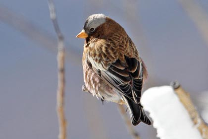 Gray-crowned Rosy-Finch Picture @ Kiwifoto.com