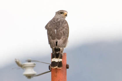 Gray Hawk Picture @ Kiwifoto.com