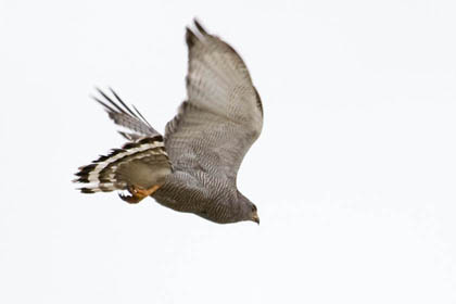 Gray Hawk Picture