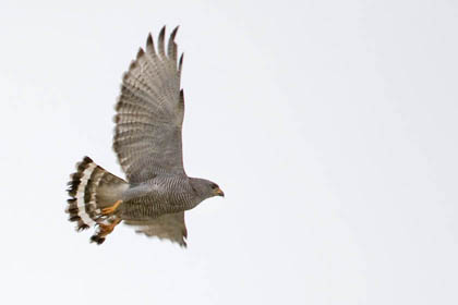 Gray Hawk Photo