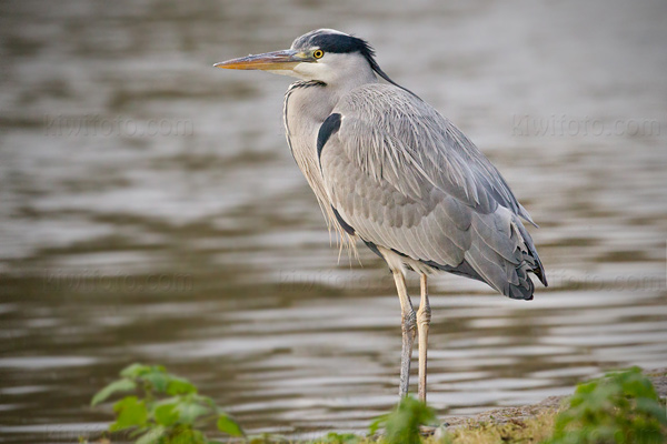 Gray Heron Photo @ Kiwifoto.com