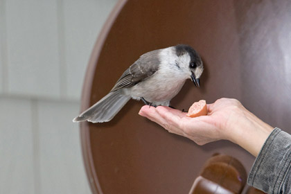 Gray Jay (P. c. obscurus)