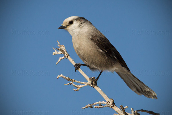 Gray Jay Photo @ Kiwifoto.com