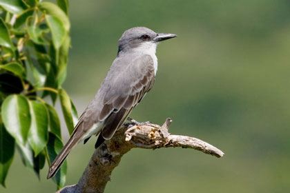 Gray Kingbird Photo @ Kiwifoto.com