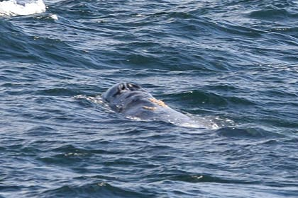 Gray Whale Photo