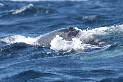 Gray Whale Photo @ Kiwifoto.com