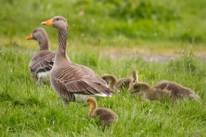 Graylag Goose Photo @ Kiwifoto.com
