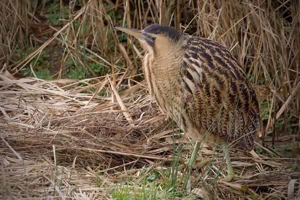 Great Bittern Photo @ Kiwifoto.com