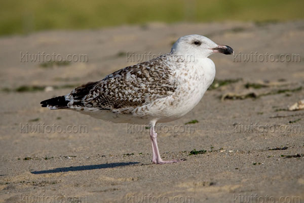 Great Black-backed Gull (1st cycle)