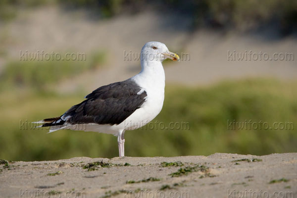 Great Black-backed Gull Photo @ Kiwifoto.com