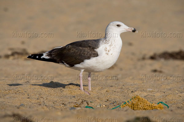 Great Black-backed Gull (3rd cycle)