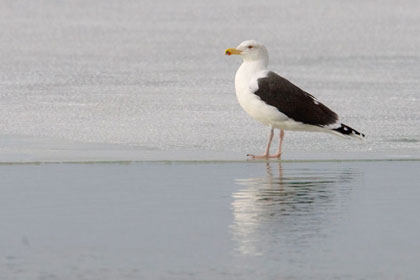 Great Black-backed Gull Image @ Kiwifoto.com
