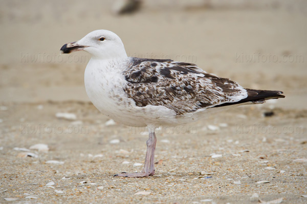Great Black-backed Gull @ Sandy Hook, NJ