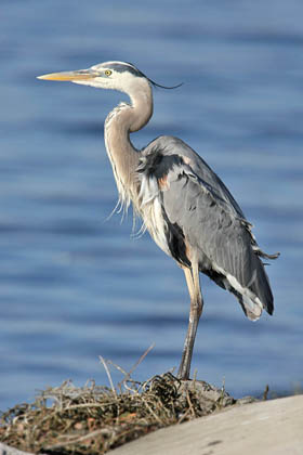 Great Blue Heron Photo @ Kiwifoto.com