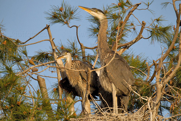 Great Blue Heron Picture @ Kiwifoto.com