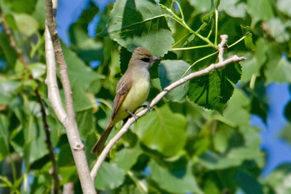Great Crested Flycatcher Image @ Kiwifoto.com