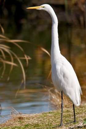 Great Egret Picture @ Kiwifoto.com