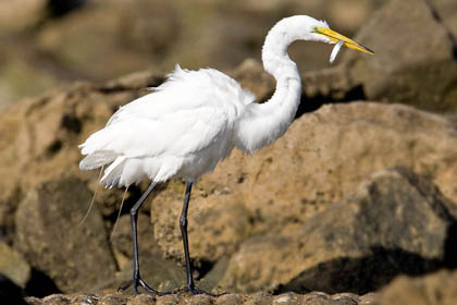 Great Egret Photo @ Kiwifoto.com