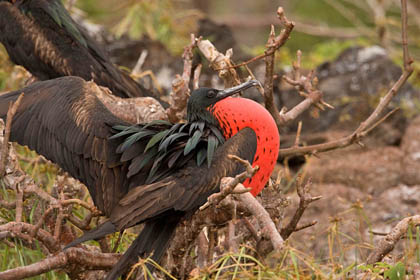 Great Frigatebird Image