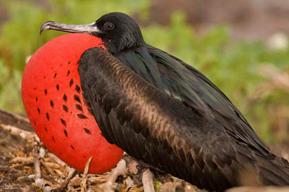 Great Frigatebird Picture @ Kiwifoto.com