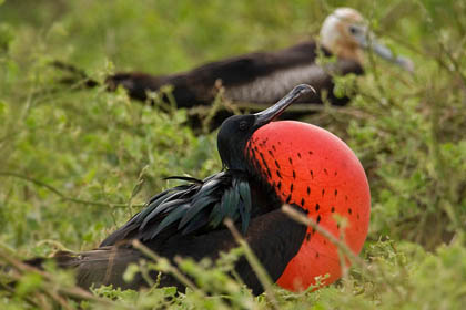 Great Frigatebird Photo @ Kiwifoto.com