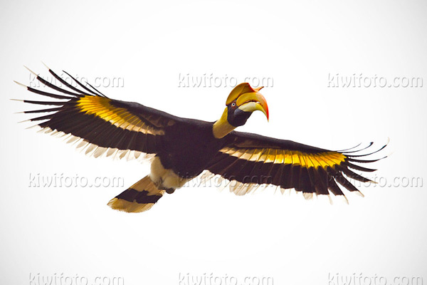 Great Hornbill Photo @ Kiwifoto.com