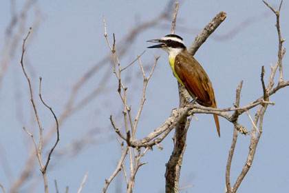Great Kiskadee Image