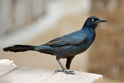 Great-tailed Grackle Image @ Kiwifoto.com