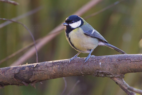 Great Tit Picture @ Kiwifoto.com