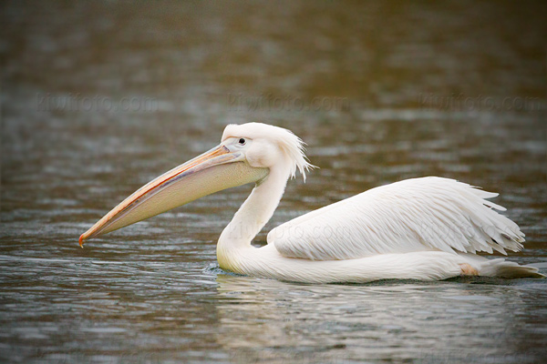 Great White Pelican Image @ Kiwifoto.com