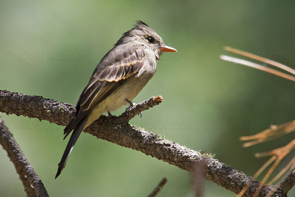 Greater Pewee Photo @ Kiwifoto.com