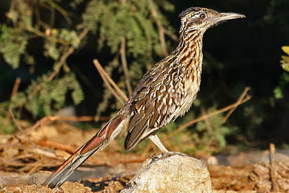 Greater Roadrunner Picture @ Kiwifoto.com