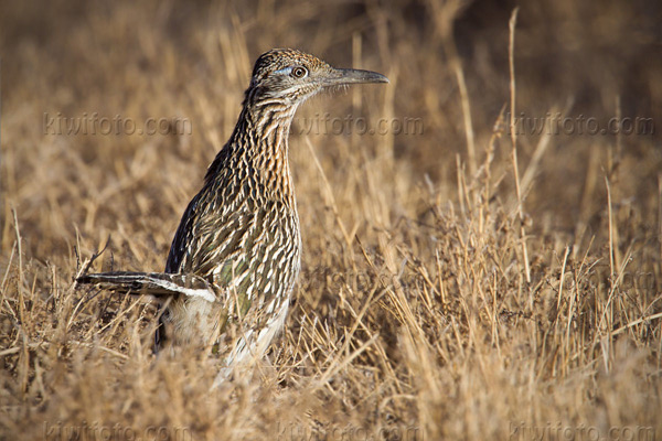 Greater Roadrunner Photo @ Kiwifoto.com