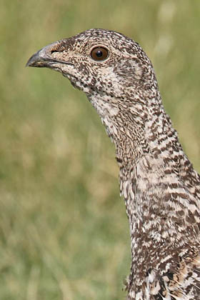 Greater Sage-Grouse Picture @ Kiwifoto.com