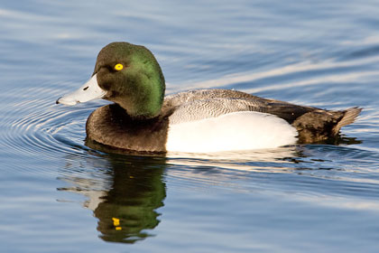 Greater Scaup Picture @ Kiwifoto.com