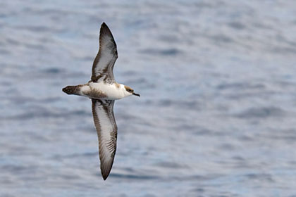 Greater Shearwater Picture